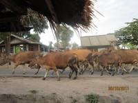 Sapi-sapi yang digembala Gembala Sakti