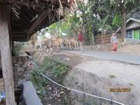Sang Gembala Sakti ada di belakang kumpulan sapi