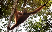 Orangutan asyik bergelantungan di pohon (Ari Saputra/detikTravel)