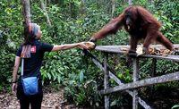 Yuk, kita sayangi orangutan (Ari Saputra/detikTravel)