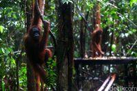 Orangutan bersantai di Camp Tanjung Harapan (Agung/detikTravel)