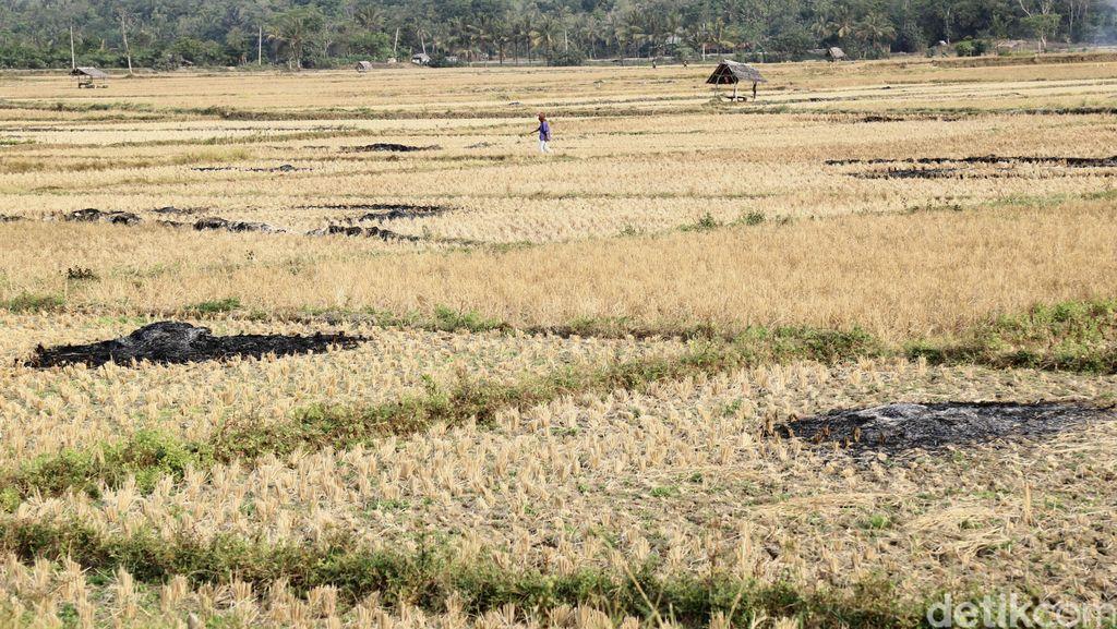 Ratusan Hektar Sawah di Banten Kekeringan