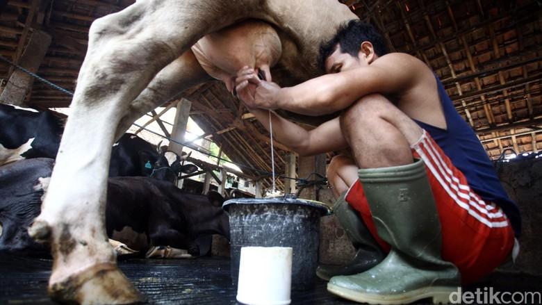 Pengusaha Susu Minta Pemerintah Bantu Pakan Hingga Lahan Ternak