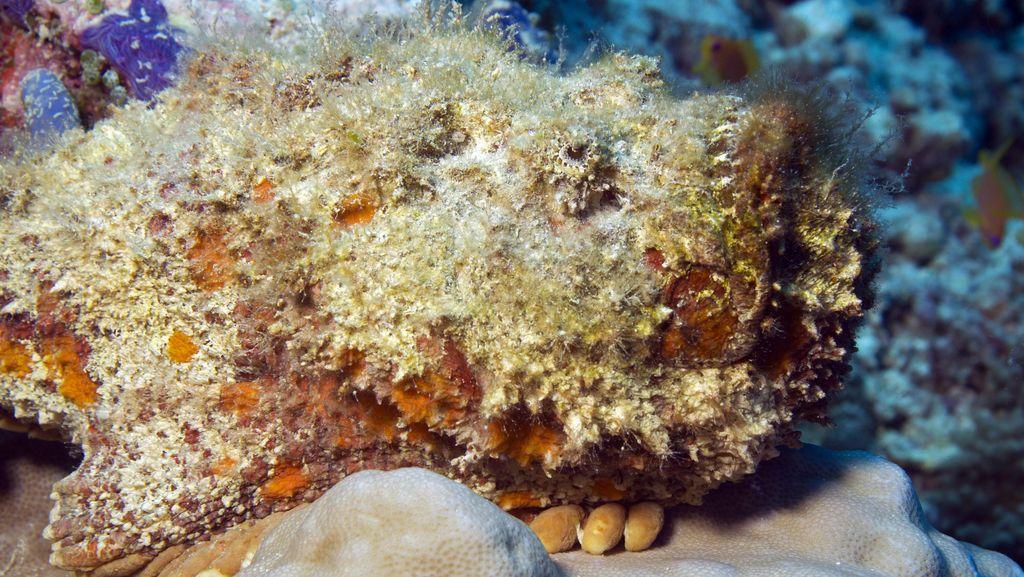 Racun Ikan Batu Berpotensi Perlancar Proses Transplantasi Organ