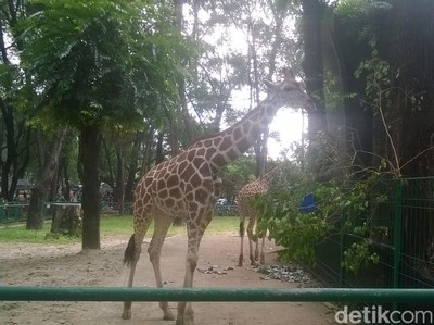 Jerapah Lucu Jadi Primadona di kebun Binatang Ragunan