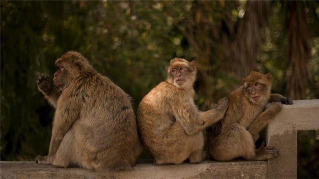 Takut Terinfeksi Demam Kuning, Petani Brazil Buru Monyet Hutan