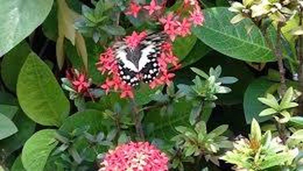 DKP: Selain di Taman Kupu-kupu Juga Bisa Dijumpai di Jalur Tengah