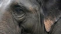 Duh! 4 Ekor Gajah Mati Ditabrak Kereta di Sri Lanka