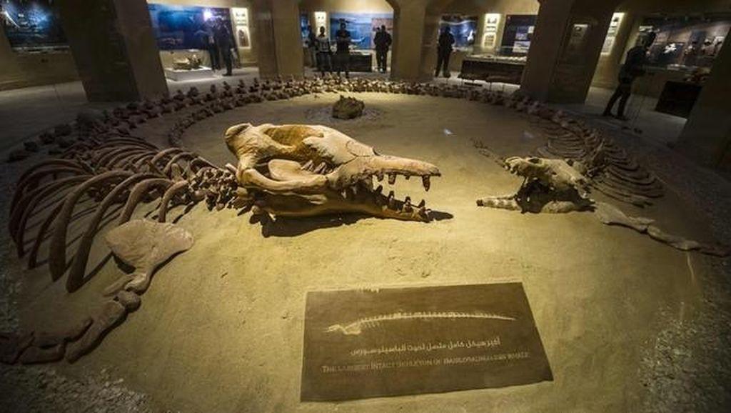 Keren! Mesir Punya Museum Fosil di Tengah Gurun Pasir
