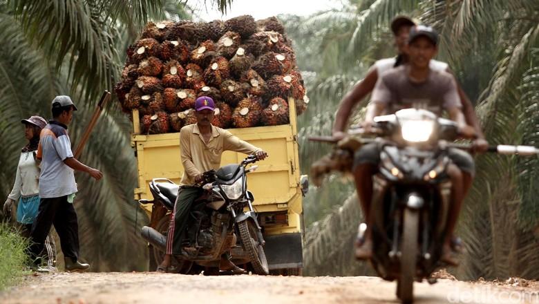 Sehektar Kebun RI Produksi 3 Ton Sawit, Malaysia Bisa 12 Ton