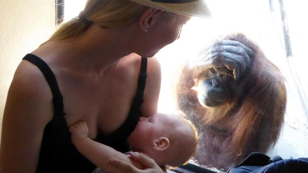 Foto Orangutan Terpesona Melihat Ibu Menyusui Bayinya Ini Jadi Viral