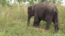 Kawanan Gajah Rusak Tanaman di Bener Meriah, Warga Ketakutan