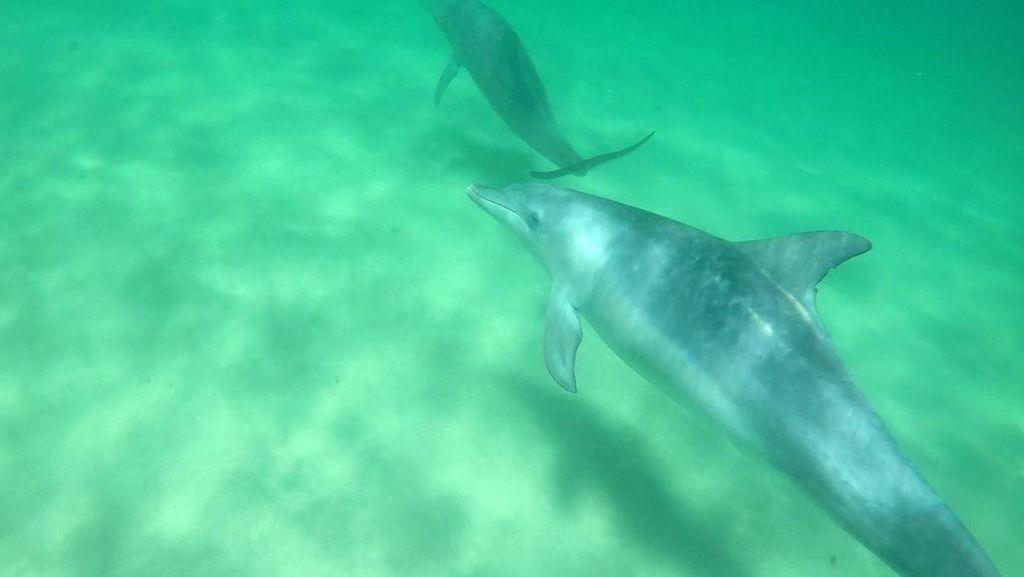 Penampakan Lumba-lumba Liar di Perairan Australia