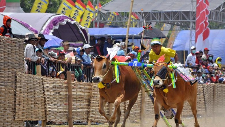 Festival Karapan Sapi di Madura | detiktravel