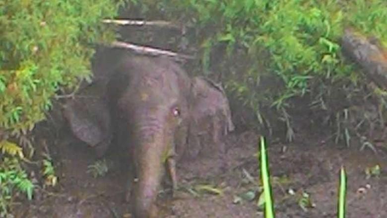 Gajah Liar di Riau Terjebak dalam Kanal, Ini Penampakannya