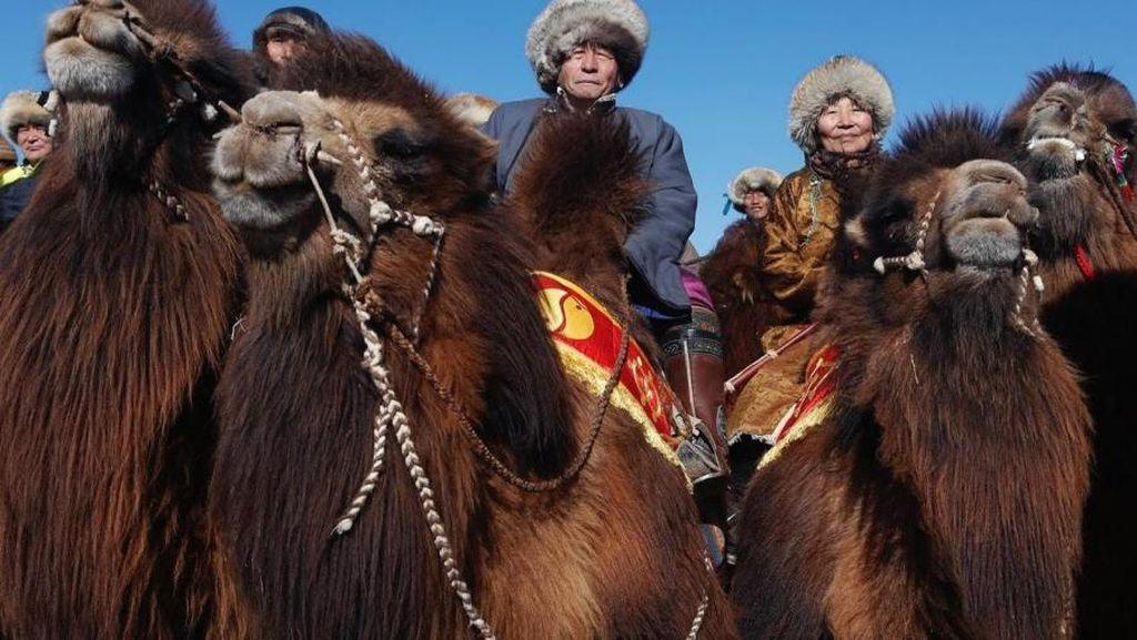 Potret Kemeriahan Festival Unta Terbesar di Mongolia