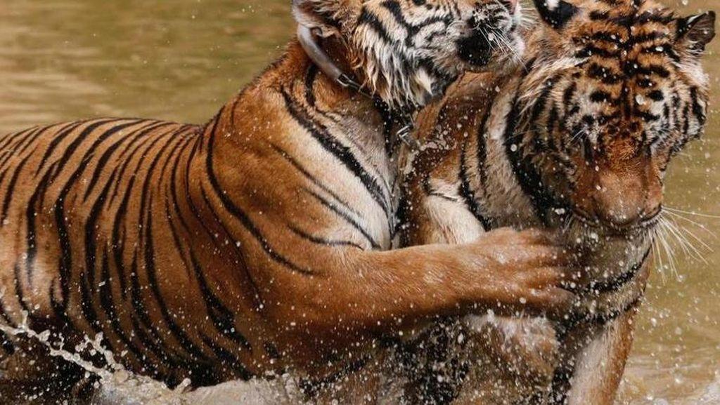 Foto: Kuil 100 Harimau yang Kontroversial