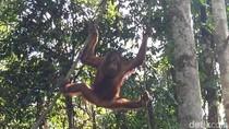 Orangutan Bak Atlet, Suka Dipukuli dan Ditembak Bila Jadi Hama
