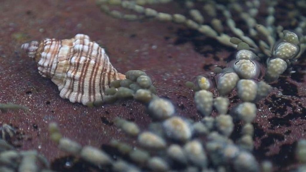 Racun Siput Laut Berpotensi Jadi Alternatif Obat Pereda Nyeri