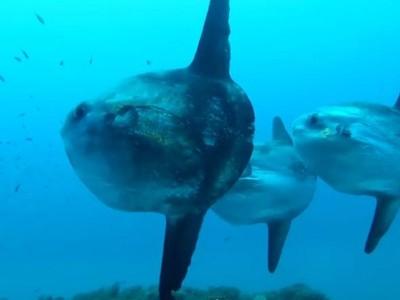 Mola-Mola, Ikan Ajaib Penghuni Laut Nusa Penida