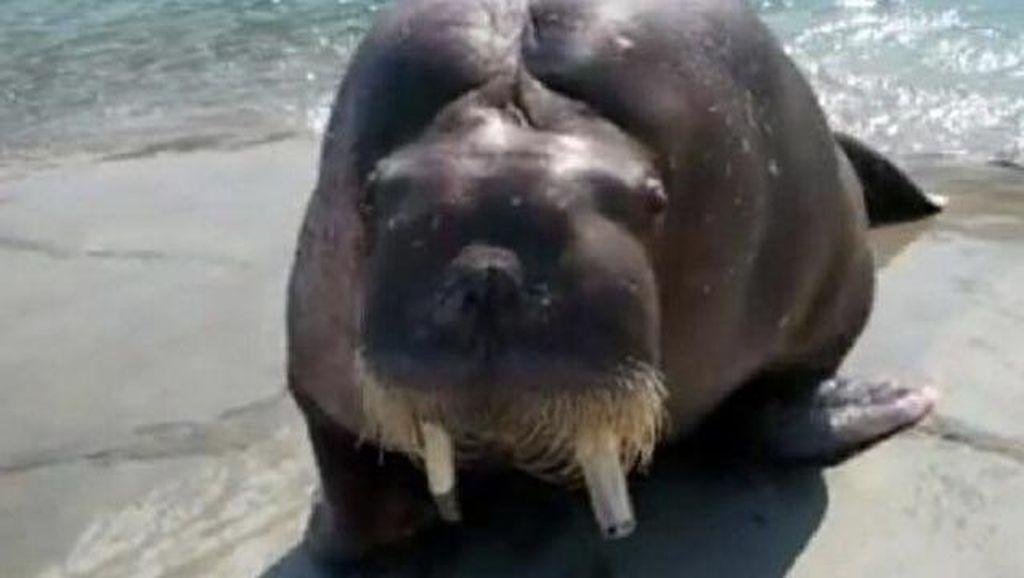 Seorang Pria Tewas Akibat Selfie dengan Anjing Laut