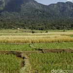 Gabah Petani yang Diserap Bulog Kualitasnya Rendah, Ini Langkah Mentan