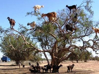 Pohon Kambing yang Ajaib di Maroko