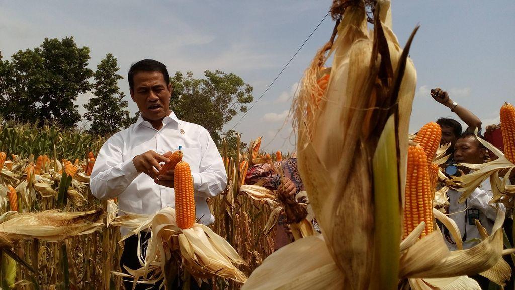 Target Kementan: Tahun Ini Tak Impor Jagung untuk Pakan Ternak