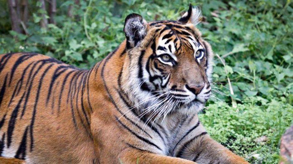 Jatuh ke Kandang Macan, Turis di China Tewas Diterkam