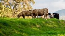 Daging Sapi Pemakan Rumput Sangat Kaya akan Omega 3 dan 6
