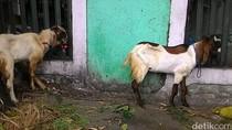 Stok Domba Garut untuk Idul Adha Mencapai 20 Ribu Ekor