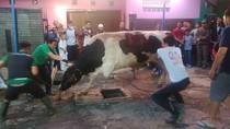 Momen Warga Kiaracondong Taklukan Sapi 7 Kuintal Sumbangan Ridwan Kamil