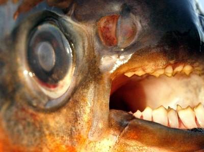 Sungai yang Punya Ikan Bergigi Manusia