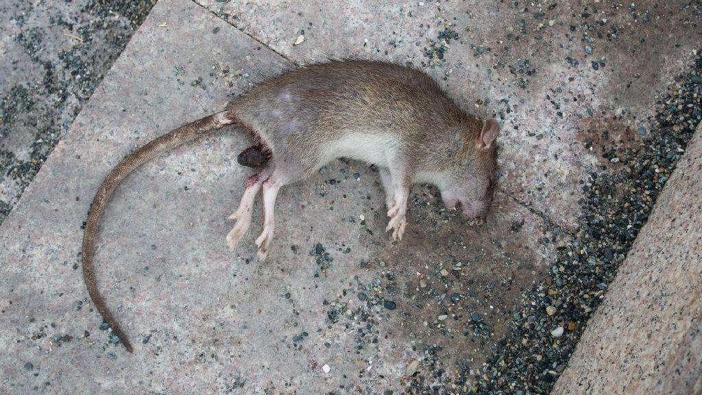 Hati-hati Liburan ke Myanmar, Lagi Ada Serangan Hama Tikus