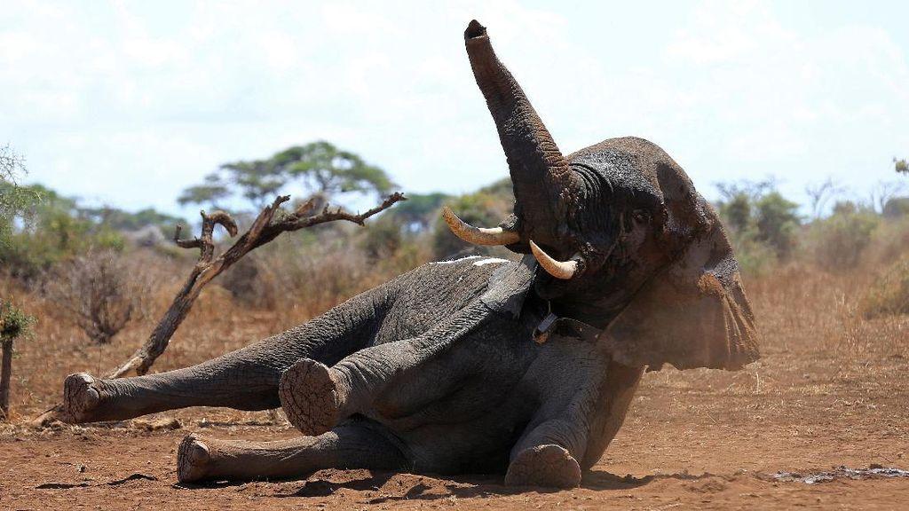 Sejumlah Gajah di Kenya Dipasang Alat Pelacak