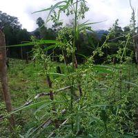 Temukan Ganja Varian Hibrida di Aceh, BNN: