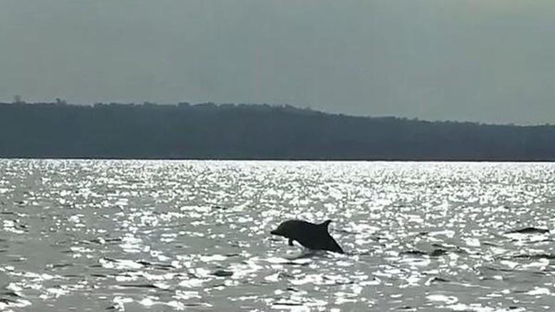 Lumba-lumba yang beratraksi loncat ke permukaan (Bonauli/detikTravel)