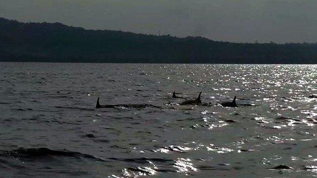 Lumba-lumba bergantian untuk muncul ke permukaan (Bonauli/detikTravel)