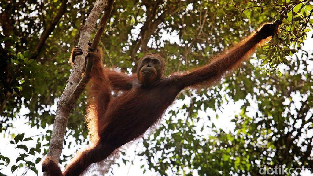 Main ke Palangkaraya, Makin Cinta Orangutan di Nyaru Menteng