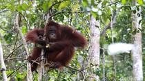 Kementerian LHK: Konflik dengan Orangutan Terbanyak di Kalteng
