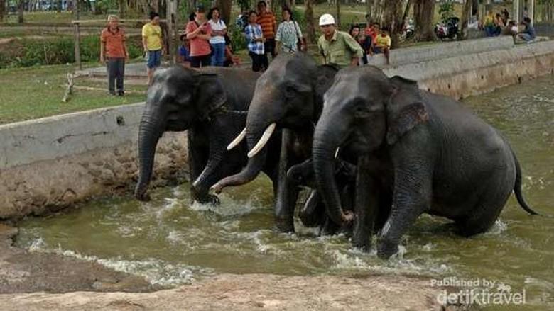 Gajah terlatih di Way Kambas (Rasuane Noor/dTraveler)