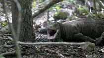 Potret Ganas Komodo di Pulau Rinca