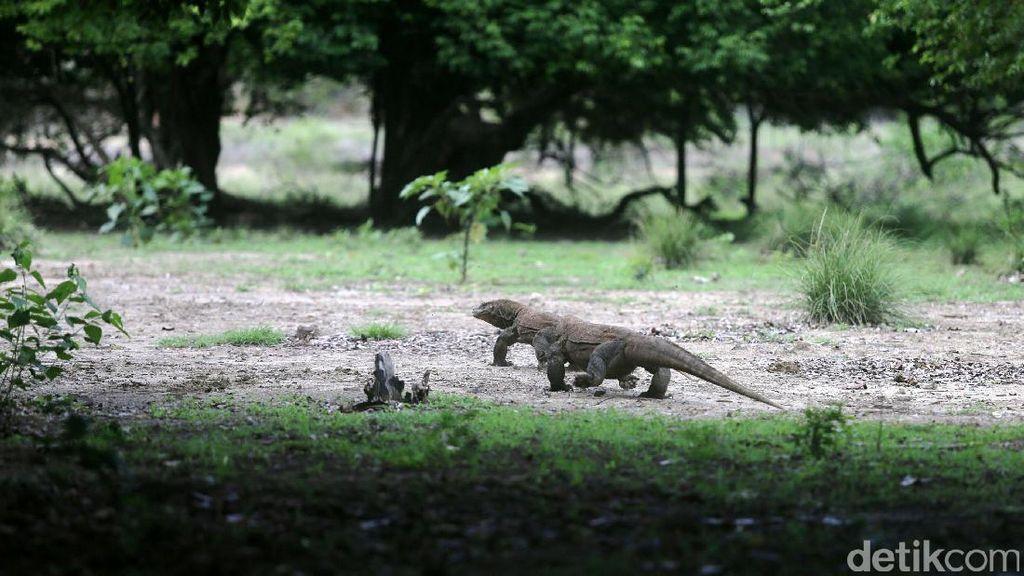 Taman Nasional Komodo Terus Mencuri Perhatian Dunia