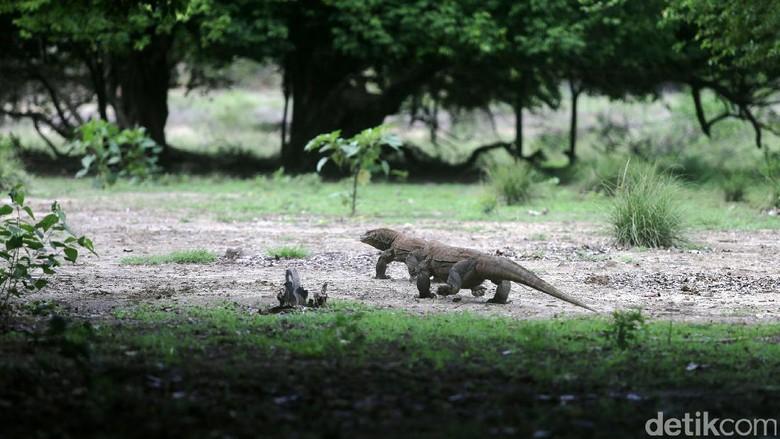 Komodo, si Naga Purba (Agung Pambudhy/detikTravel)