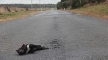 600 Ekor Tasmanian Devil Mati Tertabrak di Tasmania Sepanjang 2016