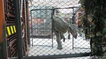Awas! Ada Raptor di Bangkok