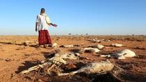 Kemarau, Puluhan Hewan Ternak di Somalia Mati Kekeringan