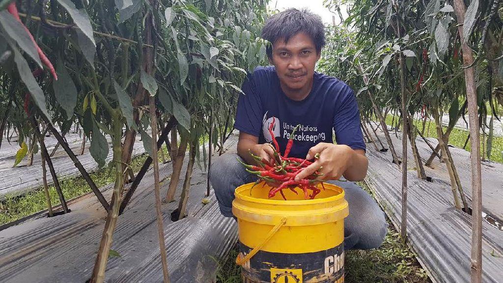 Pemuda Ini Sukses Tanam Cabai dan Potong Jalur Tengkulak