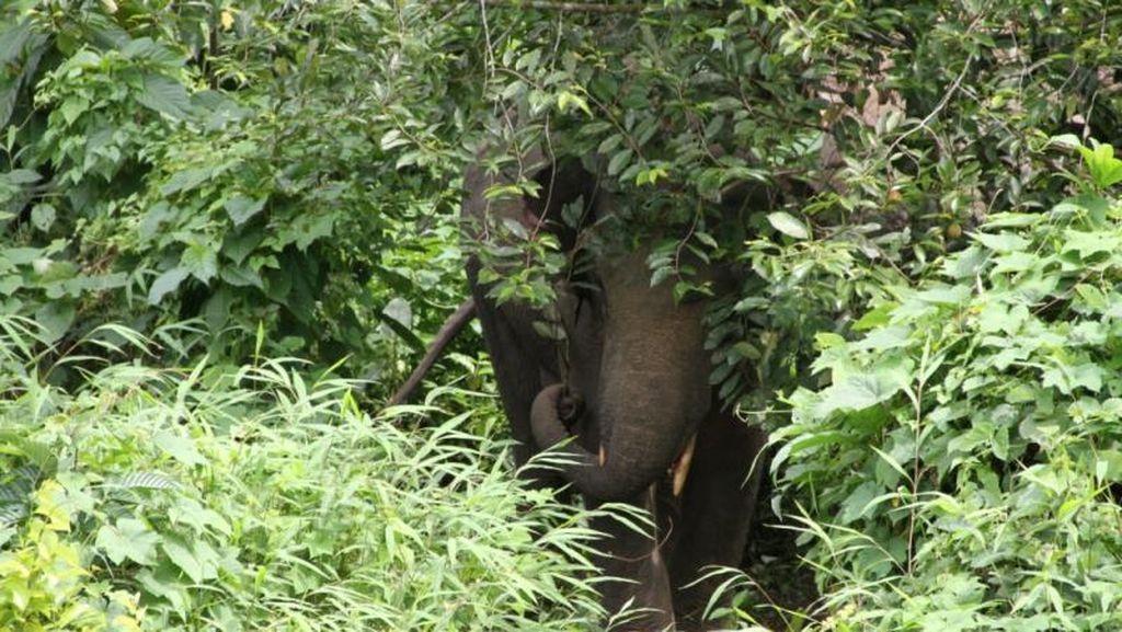 Bertemu Kawanan Gajah Liar di Pedalaman Aceh Jaya