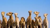 Bukan Kuda, Ini Balapan Unta di Abu Dhabi